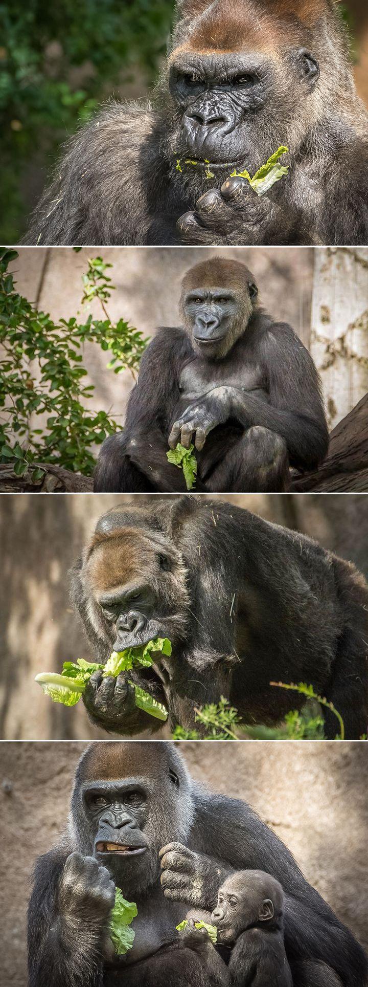 N'dowe Gorilla #Gorilla forest goes g...
