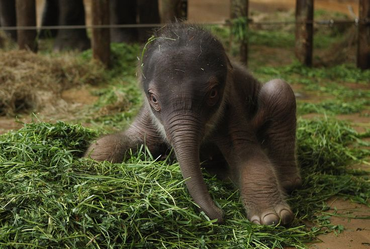 Adorable..  A 2-day-old male Asian elephant, weighing only 102 kilograms (about 225 pounds), sits on a bed of grass on May 10 while getting used to his wobbly legs inside his enclosure at the Berlin Zoo.