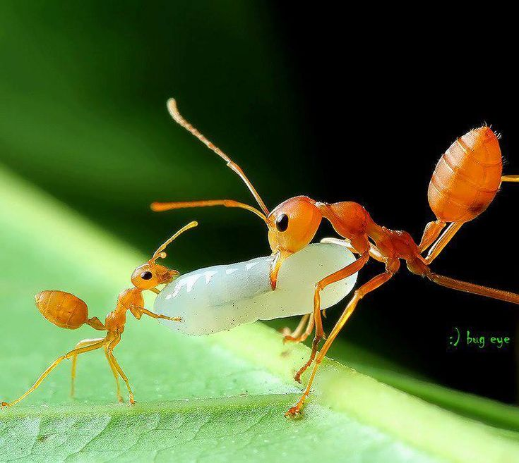 Due to their adaptability and highly advanced sense of teamwork, ant populations today outnumber every other insect population on the planet.