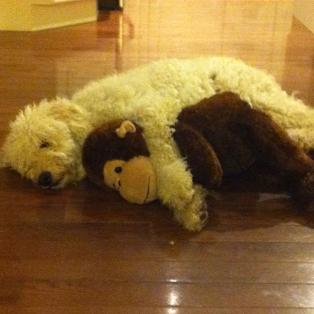 LOL #goldendoodle #dogs #cute