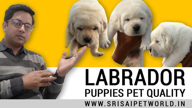 Pet Quality Golden Labrador Puppies Labrador Retriever Dog Breed