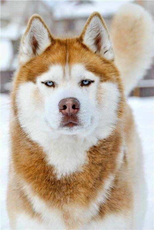 Handsome husky!!