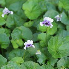 Fairy garden plant - viola hederacea