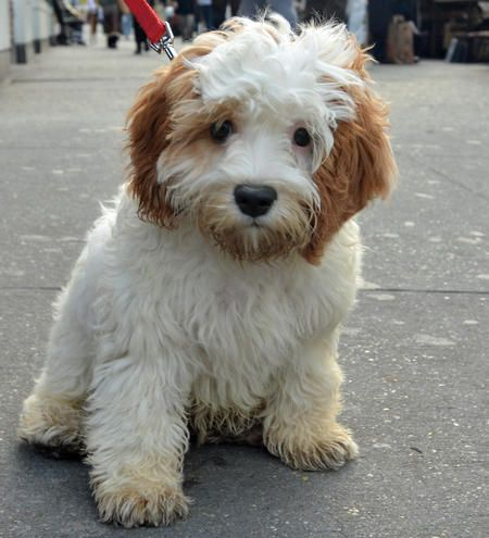 this cavalier king charles spaniel and poodle mix is absolutely adorable!