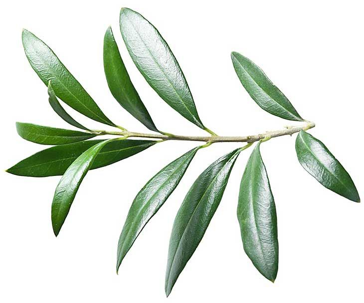 Olive Leaf - How to get rid of genital warts https://ambrossimo.com/genital_warts-home_remedies/ #ambrossimo #skincare #homeremedies #skin #warts #genetalwarts