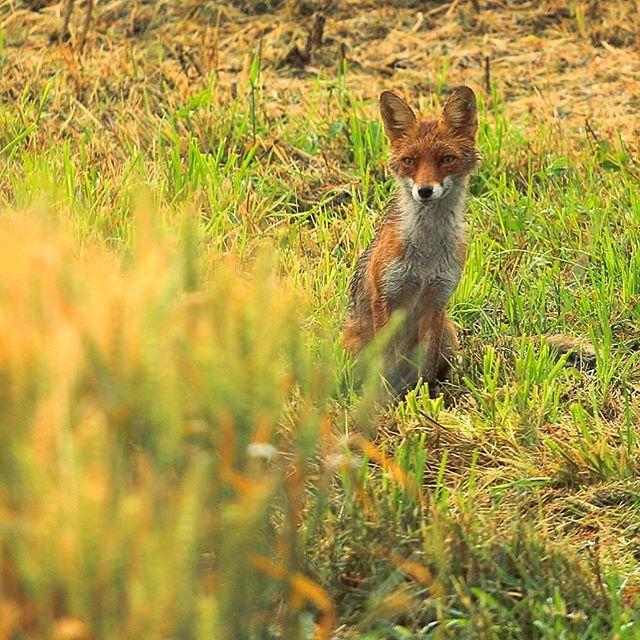 Cestujeme, pozorujeme, relaxujeme v lone prirody #liptov si ta podmani svojim povabom  W H I T E D O G t r a v e l W R A P www.whitedog.sk  #liska #slovensko #travel #travelslovakia #insta_svk #pureslovakia #thisisslovakia #madeinliptov #madeinslovakia #dnescestujem #cestujeme #cestujem #fox #animal #animalplanet #photonature #nature #wildnature #canon #naturelovers #summer #wildanimals #purenature #camping #traveling #ig_slovakia #igtravel