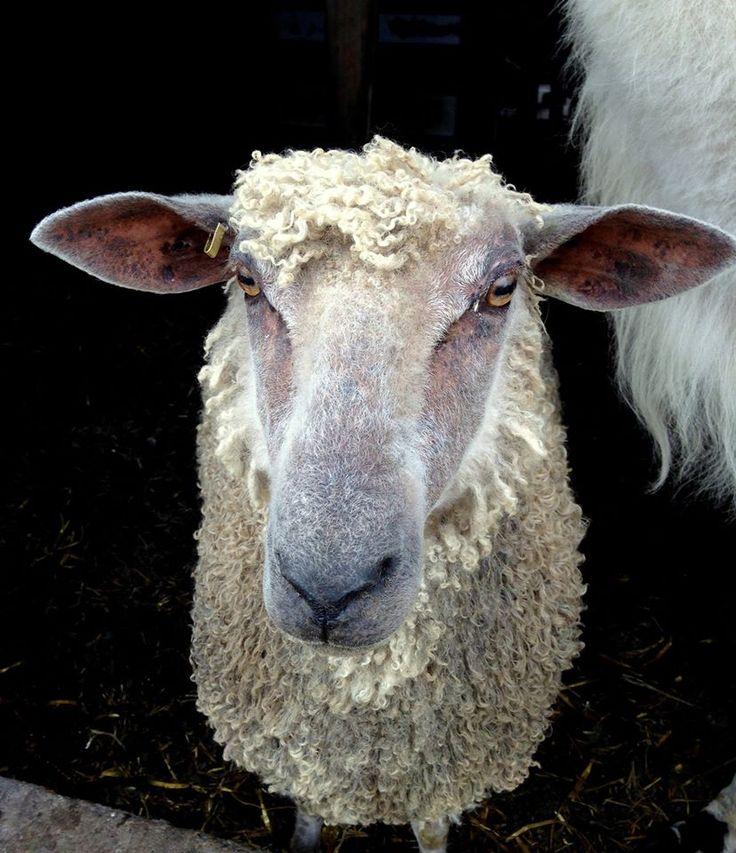 Crosswinds Farm | Shetland sheep, Heritage breeds, Sheep