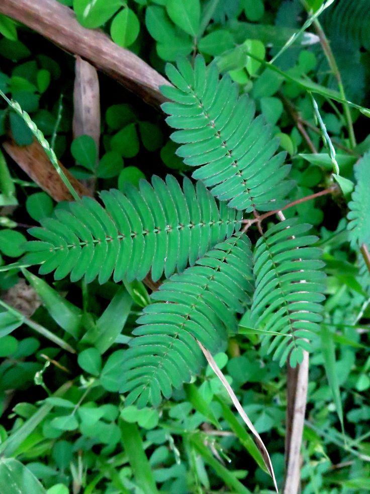Makahiya makahiya plant plant leaves plants