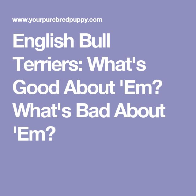 English Bull Terriers: What's Good About 'Em? What's Bad About 'Em?