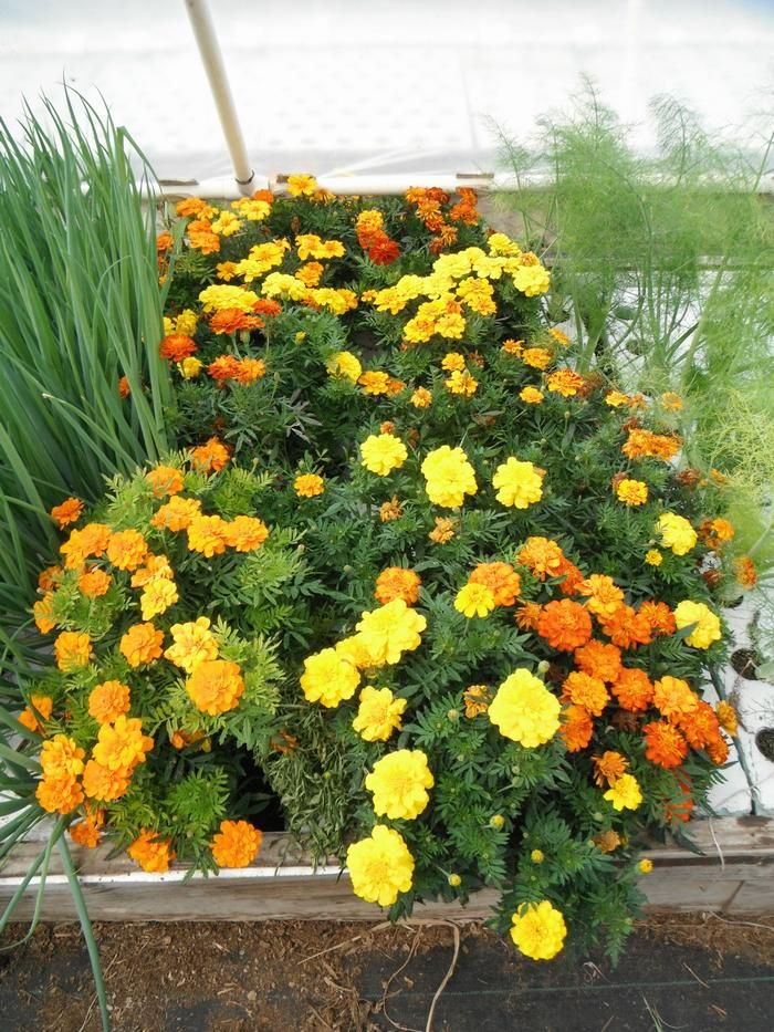 "This is an example of ""Out Of The Box"" thinking in commercial aquaponics: this is a marigold plant; an edible flower that can command quite good prices in niche markets. Click on the link to download a 24-page document showing ALL the species you can grow in YOUR aquaponics!"