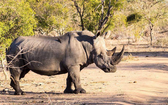 Télécharger fonds d'écran Rhinocéros, de l'Afrique, de la faune, de la corne, de buissons