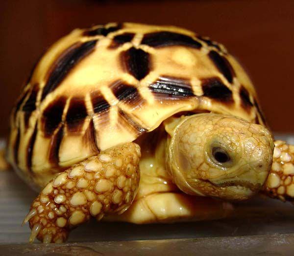 burmese star tortoise tortoise pinterest burmese