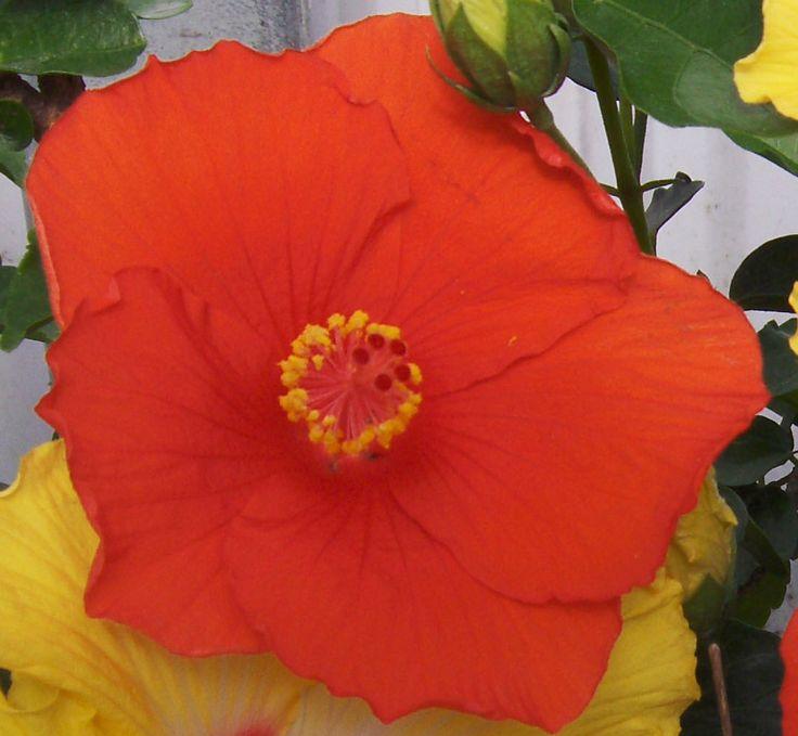 Battle Ship Arizona #hibiscus - Big Bad Flower