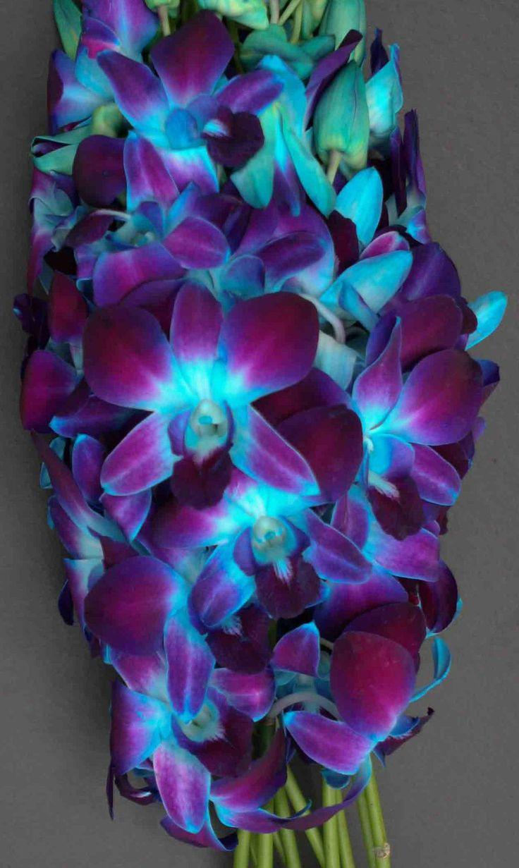 Orchid Dendrobium Blue