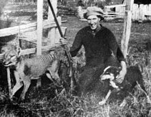 thylacine - Google Search.  Wilf Batty with the last thylacine that was killed in the wild. The last known Thylacine to be killed in the wild was shot in 1930 by Wilf Batty, a farmer from Mawbanna, in the northeast of the state. The animal, believed to have been a male, had been seen around Batty's house for several weeks.