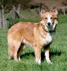 Cumberland sheepdog photo | Welsh sheepdogs)