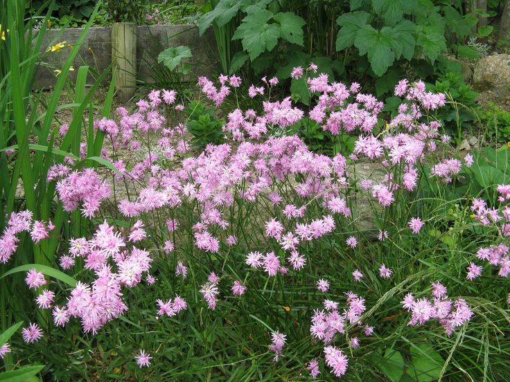 16 best images about lychnis campion on pinterest orange flowers robins and deadheading. Black Bedroom Furniture Sets. Home Design Ideas