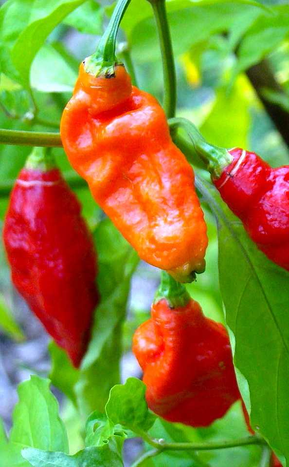 before you try the naga chilli, book a couple of ambulances