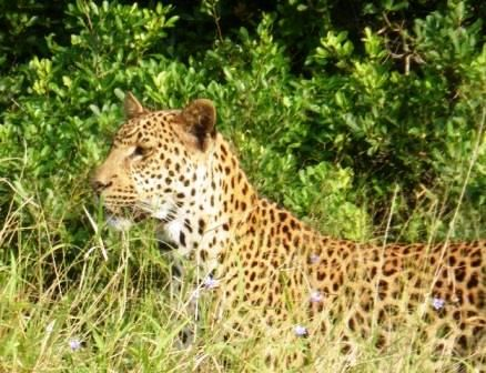 Leopard at St Lucia South Africa. Photographed while on a day trip from St Lucia to Cape Vidal