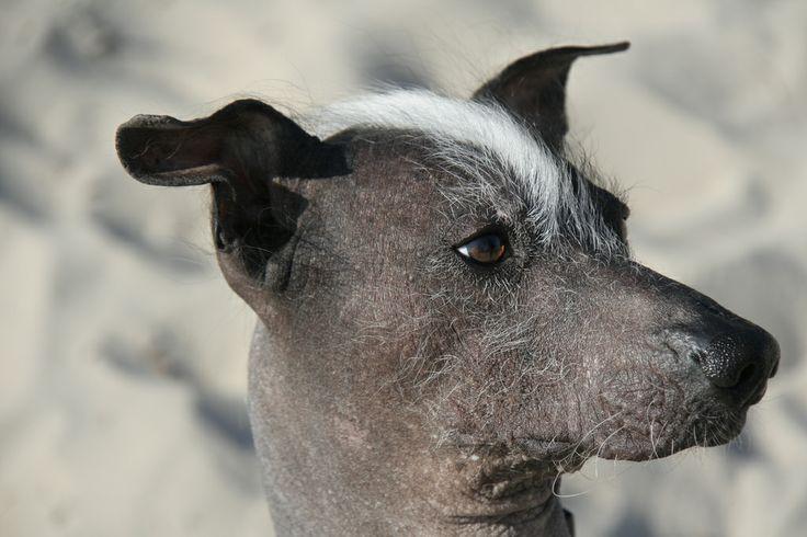 Naqui - Peruvian Hairless Dog. Still love his look. Mohawk cutie.