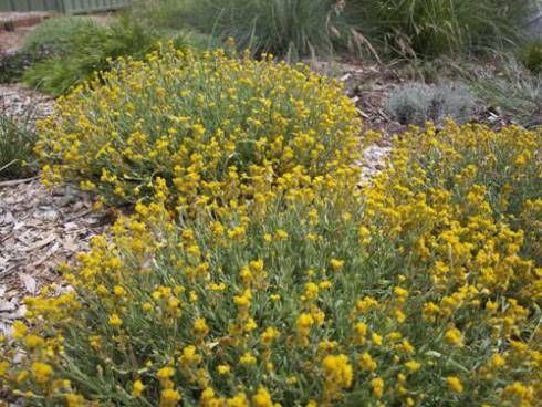 Yellow Buttons - Chrysocephalum apiculatum - an Australian native groundcover that thrives on neglect. Butterflies love the flowers & it can be propagated from both seeds & cuttings. Good in well drained soil & in hanging baskets. This is a good example of planting in odd numbers.