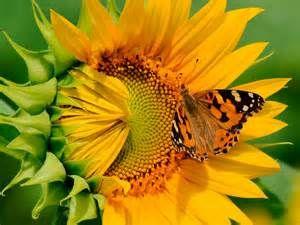 sonnenblumenbilder - Bing Bilder