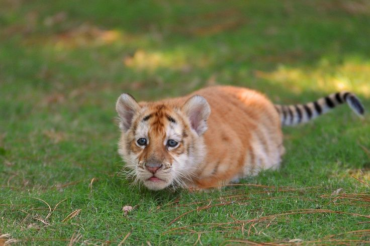 Tabby Tiger Cubs Google Search Too Cute Baby Tigers
