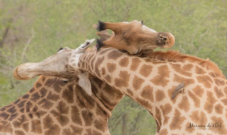 Where there is love, there is no darkness. - African proverb. Book now and see animals in love. Credit: http://ow.ly/XVAa5  #krugerparkcom #Kruger #safari #travel