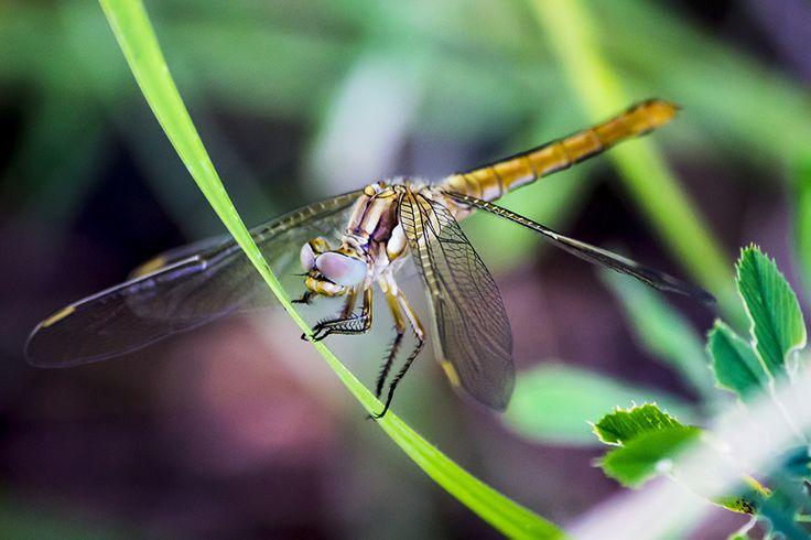 dragonfly - halil gündüz