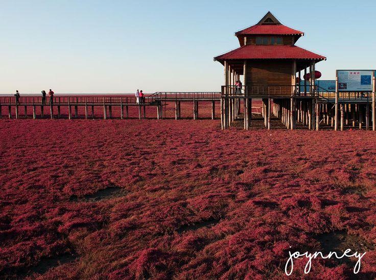 Red beach in Panjin, China  #Joynney #travel #china #panjin