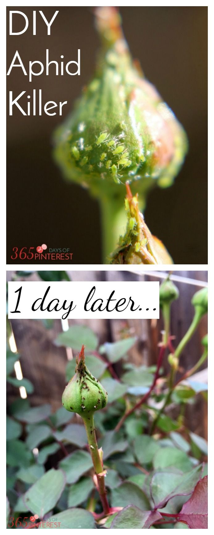 Ladybugs are nature's aphid killers, but when you have a big job like this one, you need an easy DIY aphid killer spray! This works in one day and keeps them off!