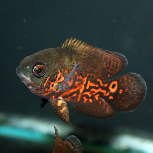 115 best images about freshwater fish on pinterest for Pictures of oscar fish