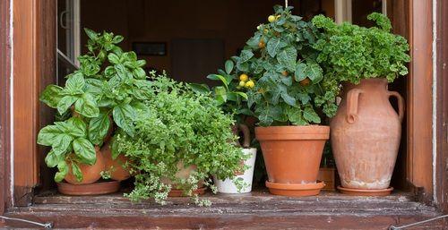 Bylinky můžete pěstovat i na okenním parapetu