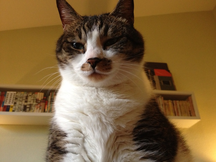 fat cat images