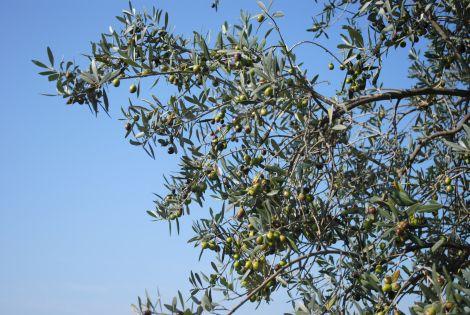 Olives for harvesting, Tuscany