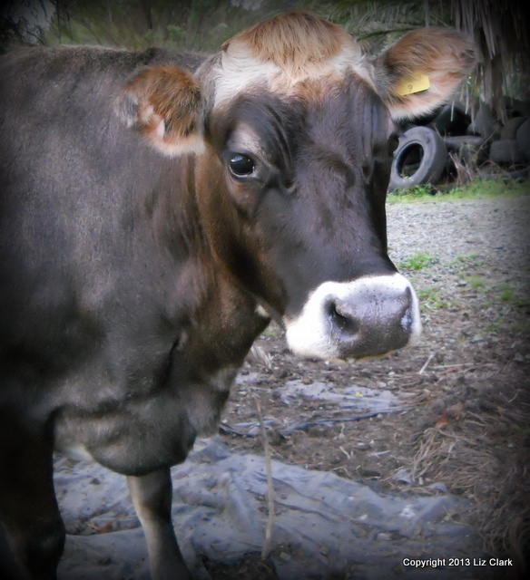 Foiled by an electric fence #farming #cattle