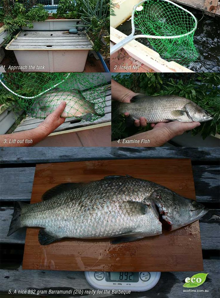 170 best fish farm images on pinterest fish farming for Best fish for hydroponics