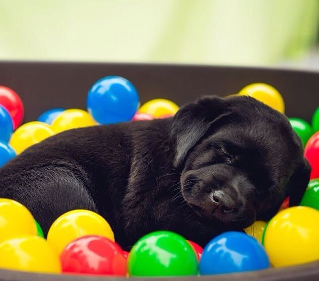 Best 25+ Labs ideas on Pinterest | Lab puppies, Black lab puppies ...