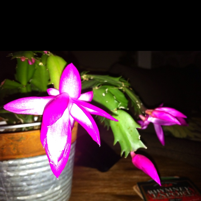 Xmas cactus on pinterest christmas cactus cactus and cactus flower