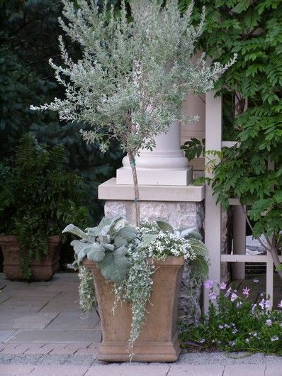 Busy at home silver container garden for Olive trees in pots winter care