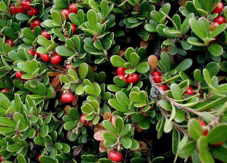 Arctostaphylos uva-ursi - Gayuba: Pink Flowers, Herbal Remedies, Arctostaphylo Uvaursi, Lights Shades, Health Benefits, Ground Covers, Frequent Urine, Uva Ursi, Native Plants