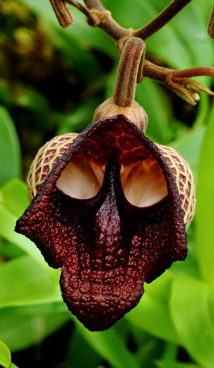 Creepy Skull Flower Also Known As Darth Vader Aristolochia Salvador Platensis
