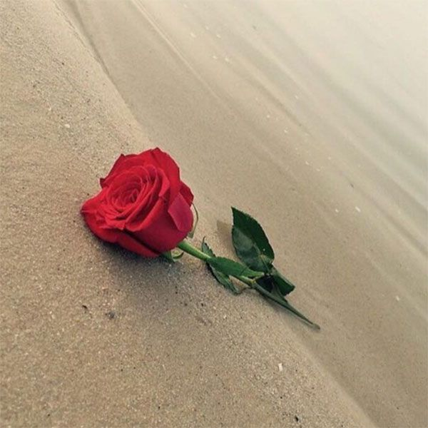 أجمل صور ورد رومانسية بدون كتابة صور رمزيات حالات خلفيات عرض واتس اب انستقرام فيس بوك رمزياتي Beautiful Flowers Beautiful Roses Love Flowers
