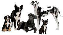Austrian Shorthaired Pinscher Information, Pictures of Austrian Shorthaired Pinschers |  Dogster
