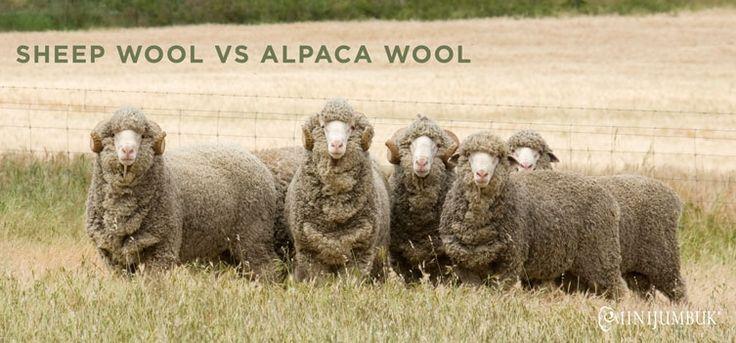 Learn why we choose to use sheep wool over alpaca wool