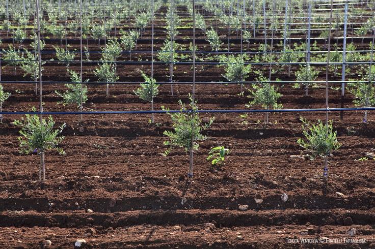 #Venterra, piccole pianticelle d'#olivo