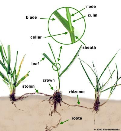 How Grass Works - HowStuffWorks