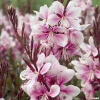 Découvrez le Gaura lindheimeri, une superbe vivace aux fleurs délicates et légères. Facile de culture, nécessitant peu d'entretien, c'est une valeur sûre !