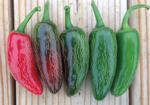 how to grow jalapeno peppers from fresh seeds