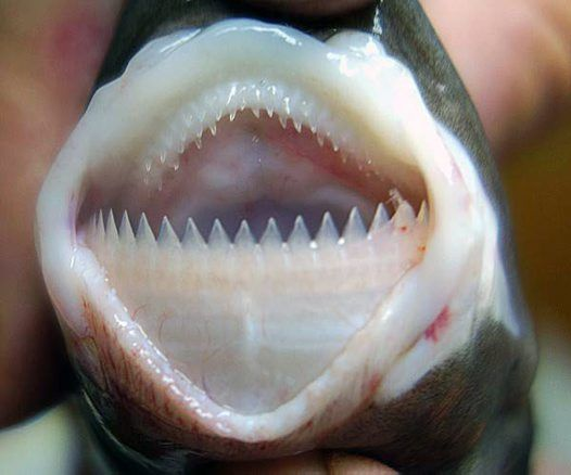 The cookiecutter shark (Isistius brasiliensis), also called the cigar shark, is a species of small dogfish shark in the family Dalatiidae.